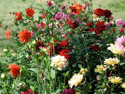 Wellfleet Cape Cod vacation rental - Dahlias