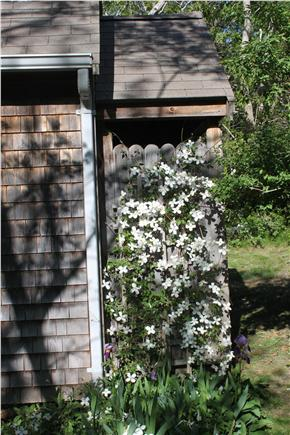 Wellfleet  Cape Cod vacation rental - Clematis on outside shower
