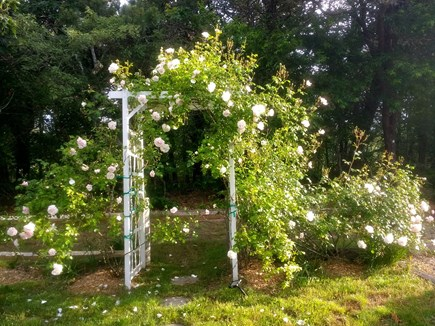 Chatham Cape Cod vacation rental - Pure Cape--rose covered arbor and hydrangeas accent the yard..