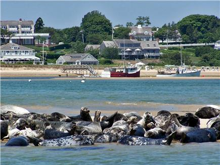 Chatham Cape Cod vacation rental - Harbor Seals near Fish Pier 2.5 miles east from the house