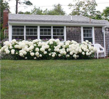 Dennis Bayside Cape Cod vacation rental - View of hydrangas from the front lawn