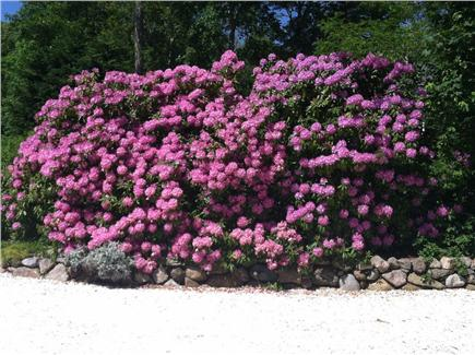 West Falmouth Cape Cod vacation rental - Rhododendrons