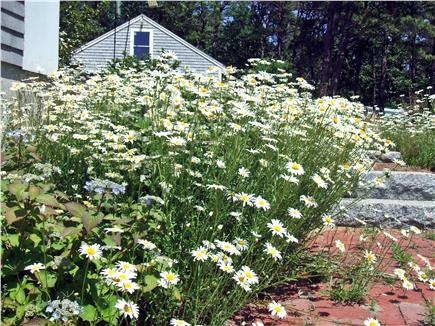 Wellfleet Cape Cod vacation rental - Steps down to your apartment with lace cap hydrangea and daisies