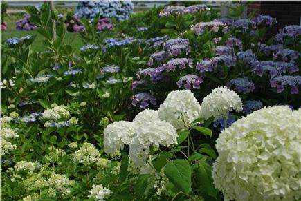 Truro Cape Cod vacation rental - Hydrangeas in Backyard