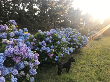 Wellfleet  Cape Cod vacation rental - Gorgeous Hydrangeas in bloom July