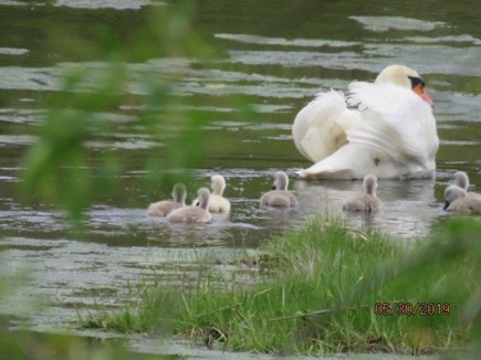 Chatham Cape Cod vacation rental - SWAN WITH 7 BABES [TAKEN FROM KITCHEN]
