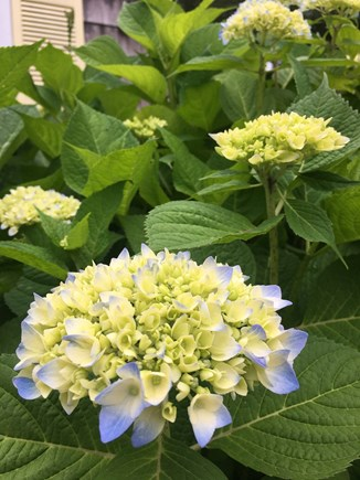 Hyannis Cape Cod vacation rental - Hydrangeas