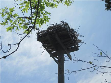 Mashpee Cape Cod vacation rental - Osprey and nest overlooking our area and bringing up its young.