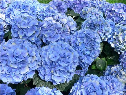 Osterville Osterville vacation rental - The yard is beautifully landscaped-hydrangeas, rhododendrons,etc