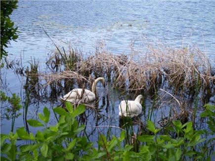 Orleans Cape Cod vacation rental - Swans In Pond by Cottage