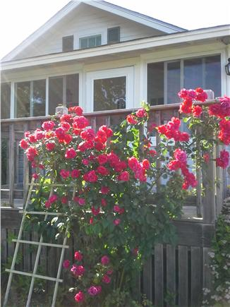 Wareham MA vacation rental - Roses in bloom on the front deck