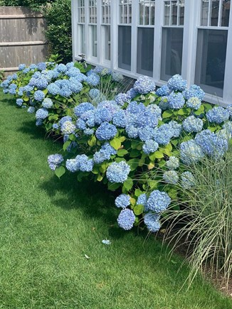 Harwich Port Cape Cod vacation rental - Beautiful front yard hydrangeas