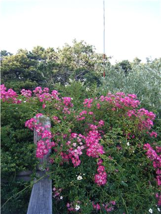 Truro Cape Cod vacation rental - Roses blooming all summer along front the deck