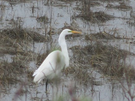 North Chatham Cape Cod vacation rental - Great White Egret visiting outside the dining room window - 2021