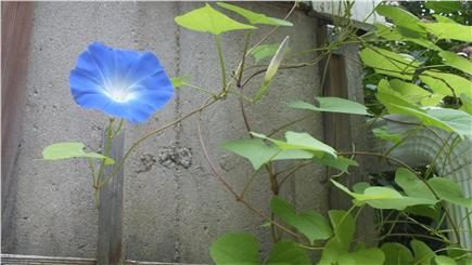 Brewster Cape Cod vacation rental - 1 blue morning glory.