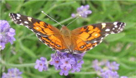 Harwich Cape Cod vacation rental - Butterfly in our lavender patch