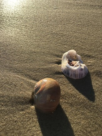 South Chatham Cape Cod vacation rental - Walk to sandy beach. Shell collecting Mecca - moonsnail,  oyster.