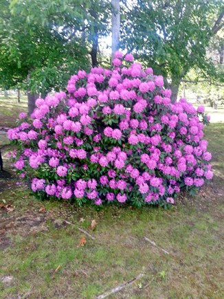 West Yarmouth Cape Cod vacation rental - A Beautiful purple Hydrangea Bush beside Kokomo Cottage.