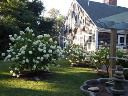 Brewster, Lower Cape, Located  Cape Cod vacation rental - summer endless blooms cover numerous hydrangeas