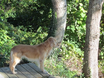 South Dennis Cape Cod vacation rental - Our rescue golden from Alabama - Ali