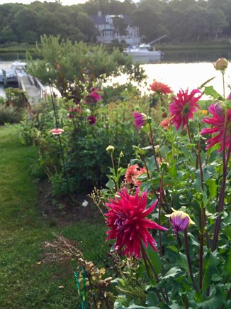 East Falmouth Cape Cod vacation rental - There are dahlias, roses, tomatoes, and many other plants.
