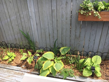 Provincetown Cape Cod vacation rental - Hostas and herbs