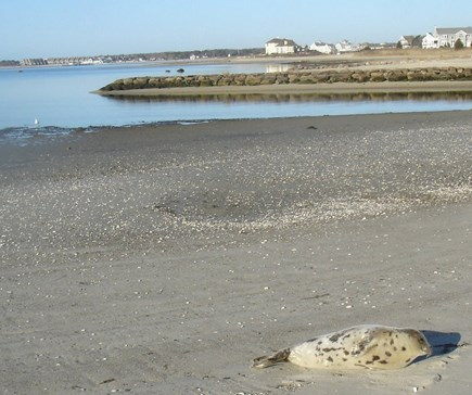 West Yarmouth Cape Cod vacation rental - A rare surprise visitor sunning on Colonial Acres Beach.