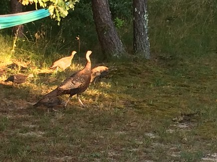 Wellfleet Cape Cod vacation rental - Keep a sharp eye out for the turkeys and their chicks