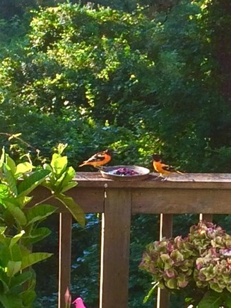 Orleans Cape Cod vacation rental - Orioles and catbirds feed and bathe on the deck.