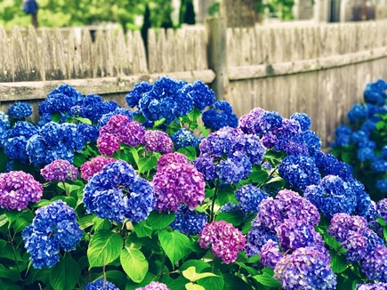 South Yarmouth Cape Cod vacation rental - Enjoy the view of the hydrangeas from the back patio
