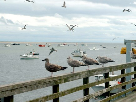 Chatham Cape Cod vacation rental - Seagulls Scouting For Dinner At Chatham Fish Pier