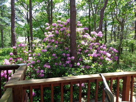 Wellfleet Cape Cod vacation rental - Happy Rhododendron Providing Some Privacy
