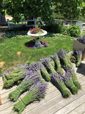 Truro Cape Cod vacation rental - The farm's lavender harvest..Lavender  Grosso just like Provence