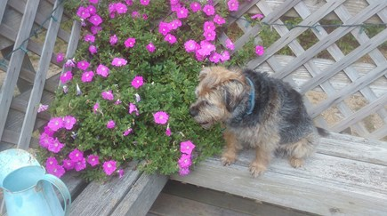 Eastham Cape Cod vacation rental - Sammy enjoying the deck flowers~