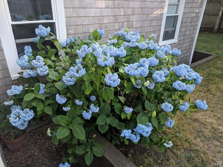 Chatham Cape Cod vacation rental - Backyard Hydrangea bush