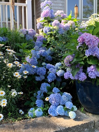South Dennis Cape Cod vacation rental - Our hydrangeas in July