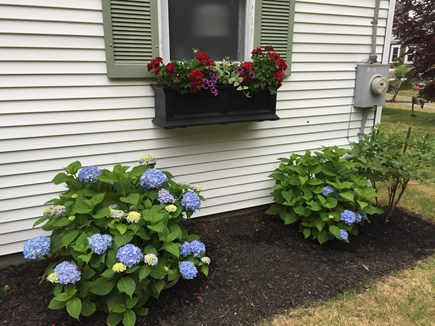 East Orleans Cape Cod vacation rental - Hydrangeas and flower boxes are a staple in Cape Cod!