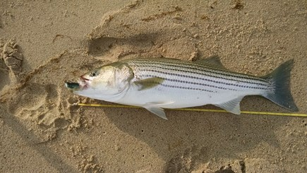 Truro Cape Cod vacation rental - Striped bass caught from nearby beach
