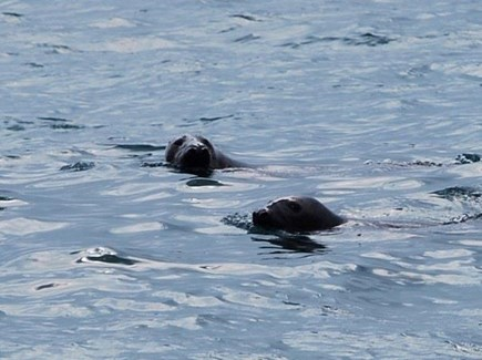 Eastham Cape Cod vacation rental - Sea life is everywhere!  These seals were happy to frolic for us.