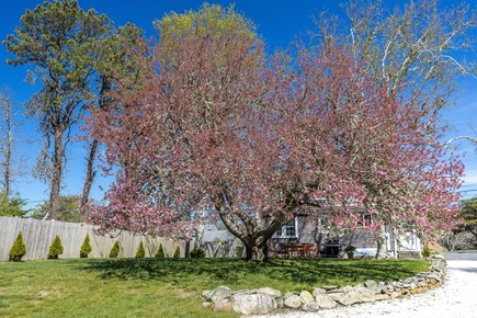 Chatham Cape Cod vacation rental - Century-old cherry blossom tree