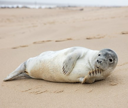 West Yarmouth Cape Cod vacation rental - This Seal actually Hauled out on our beach. A rare occurrence.