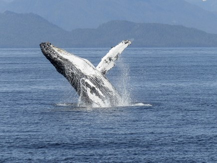 West Yarmouth Cape Cod vacation rental - Whale Watching-Jumping for Joy.