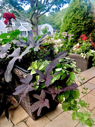 West Harwich Cape Cod vacation rental - Flowering plants abound in the landscape and in containers