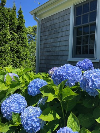 Chatham Cape Cod vacation rental - The Hydrangeas are beautiful in the summer.