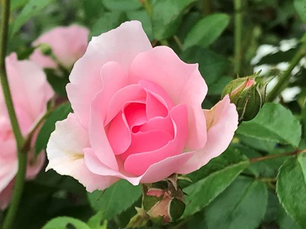 Eastham Cape Cod vacation rental - A perfect rose for a perfect vacation!