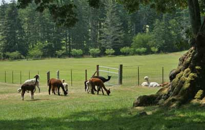Alpaca Farm, Martha's Vineyard