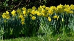Delights of Daffodil Season
