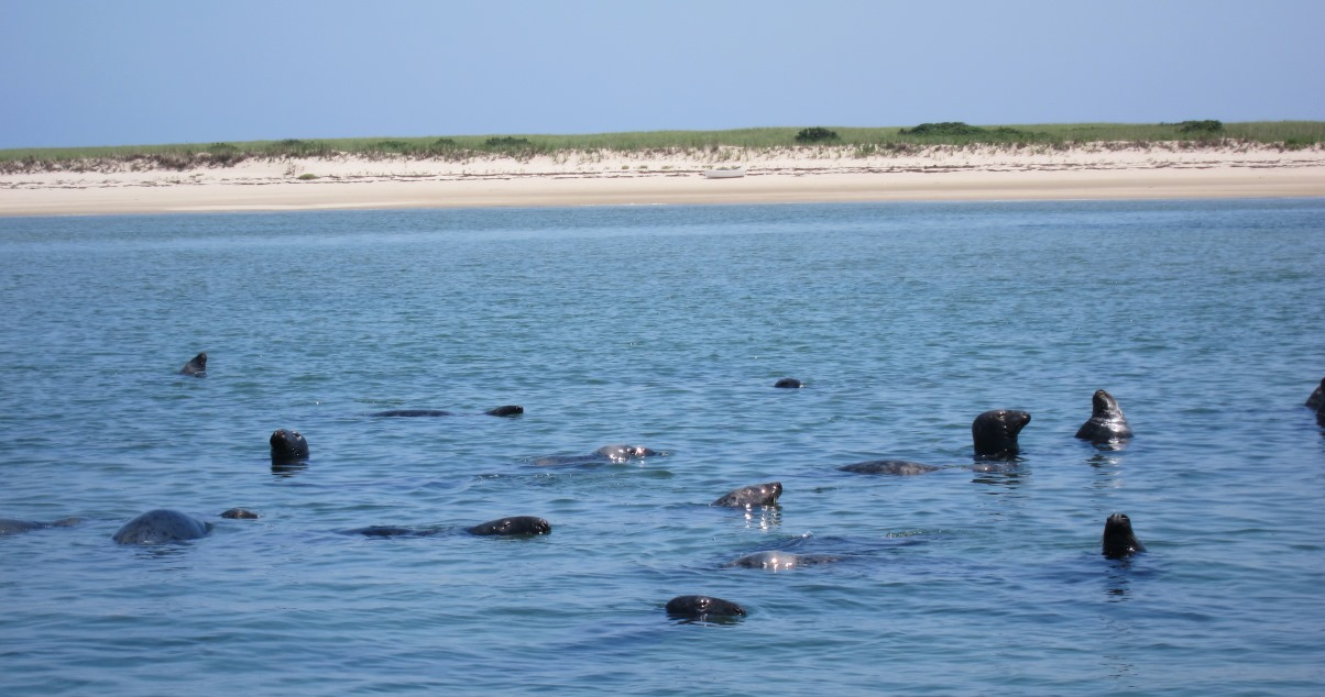 Chatham Seals at Lighthouse Beach