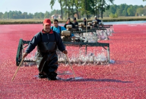 One of the most colorful sights on Cape Cod and the Islands during the fall is the cranberry harvest. Every autumn, usually from mid-September until around mid November, the cranberries reach their peak of color and flavor and are ready for harvesting.