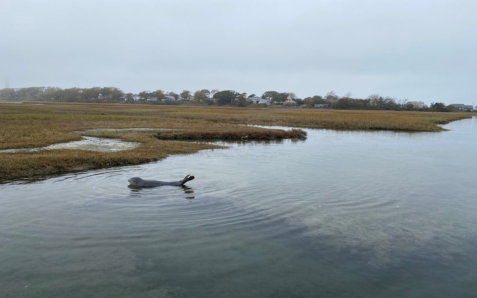 A seal was recently spotted at the Sandwich Boardwalk.